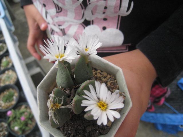 コノ 白花