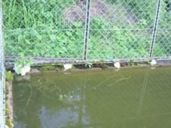20110621カエルのたまご?2