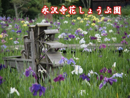 永沢寺花菖蒲園