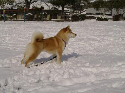 さすが日本犬、雪が似合う~