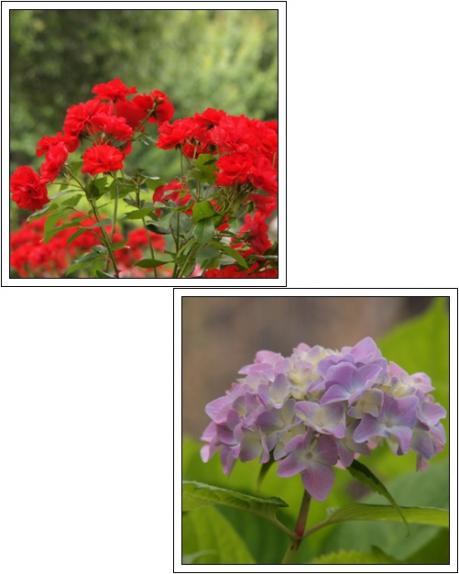 バラや紫陽花が咲いてたよ