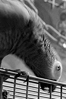 羽根が逆立つChloe