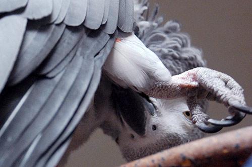 脚の羽繕いをするChloe