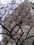 桜咲き誇ってしもとるがねぇ(^□^;)