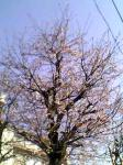 桜満開になってきたね♪