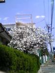 白い桜もあるわ♪