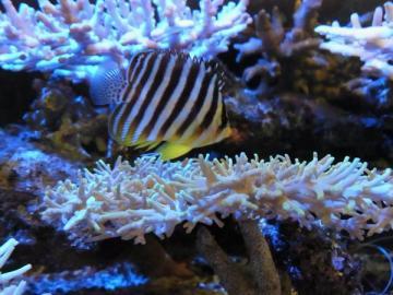 珊瑚inシマヤッコ