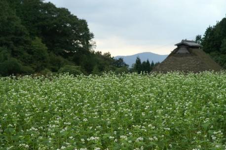 蕎麦の花と茅葺屋根