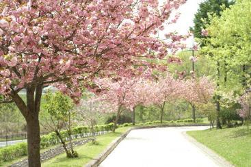 ぼたん桜並木♪