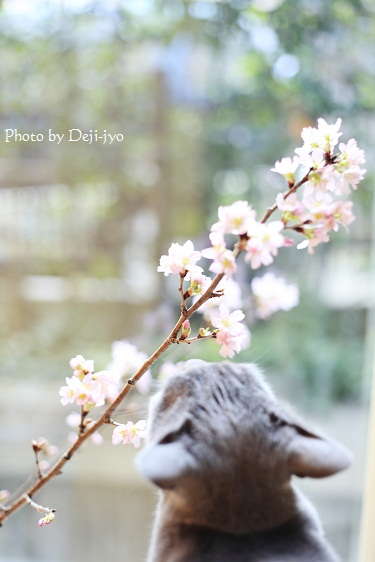 brog桜2