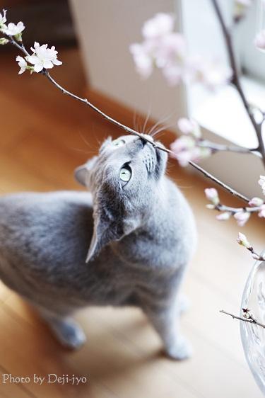 brog桜1