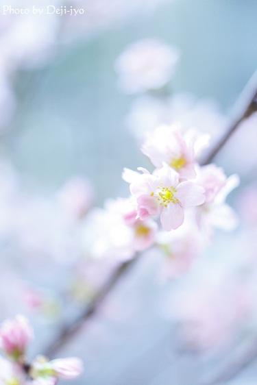 brog桜23