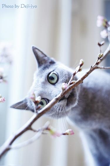 brog桜7