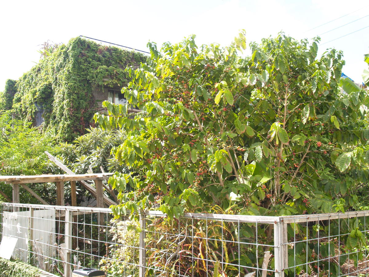 庭のコーヒーの木