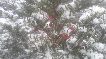 オンコの実と初雪