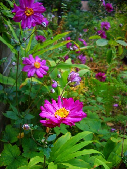 八重rシュウメイ菊