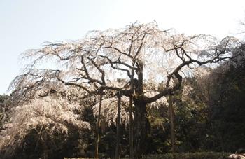 入生田のしだれ桜