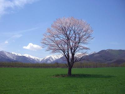 桜20112