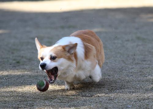 ボールを咥える瞬間2