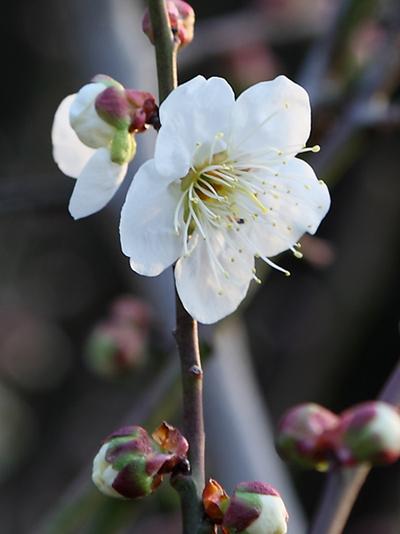 2011梅の花