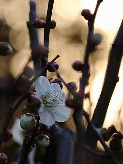 2011梅の花2