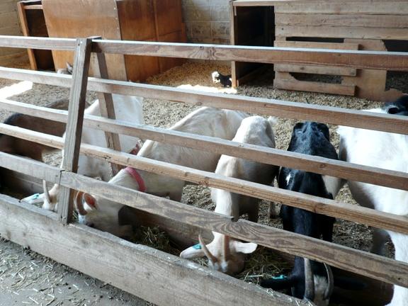 ほとんど鳴かない静かなヤギ達でした(←実家の近所に居るヤギは結構うるさい)