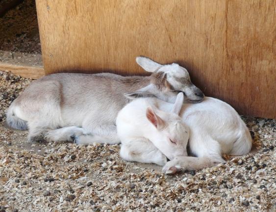 ヤギは2頭で生まれる子が多いのかな?子ヤギはみんな2頭ペアでした