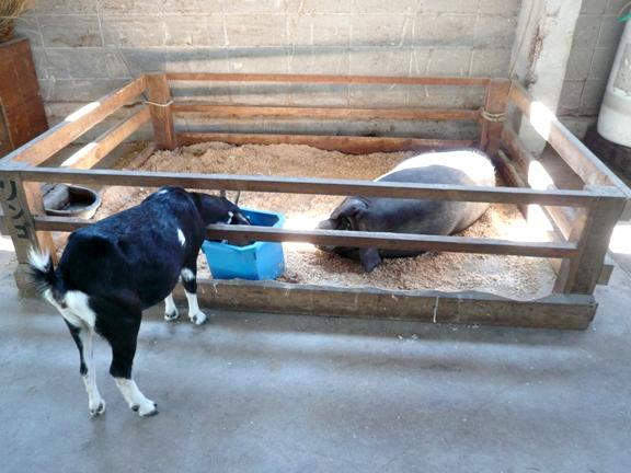 かなりでかい豚さんでした。推定体重100㎏超。