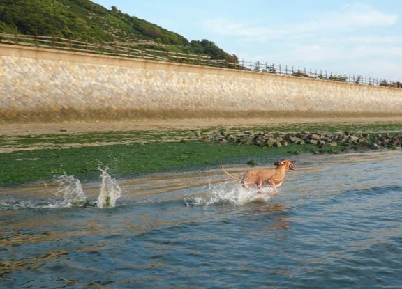 午後5時過ぎ。まだ暑かったので、水に入らないチワはお留守番でした。。