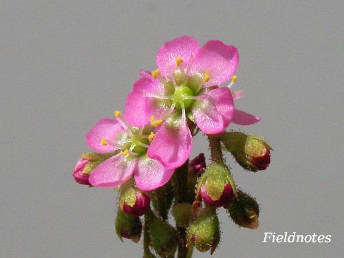今年のトウカイコモウセンゴケの花