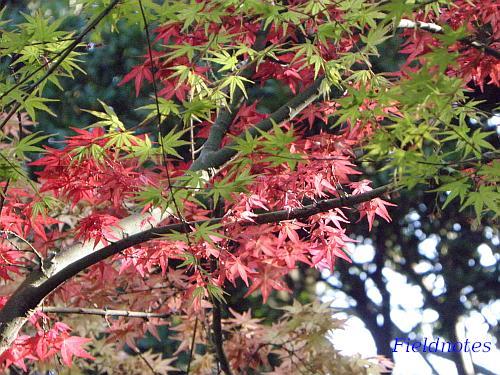 赤い葉と緑の葉がある晩春の紅葉