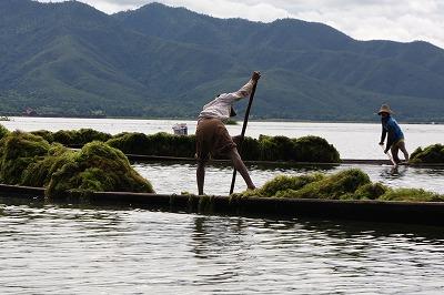 インレー湖の浮き畑用水草採取