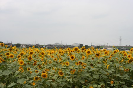 20110703himawari.jpg