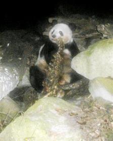 恐るべし肉食系パンダ