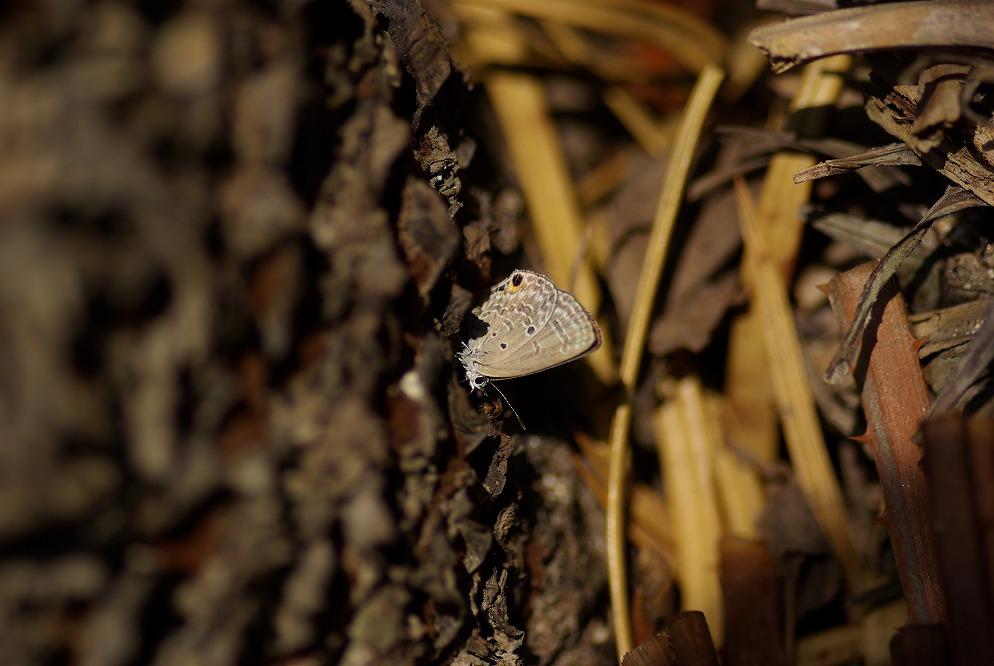 クロマダラソテツシジミ 2009.10.31 1205