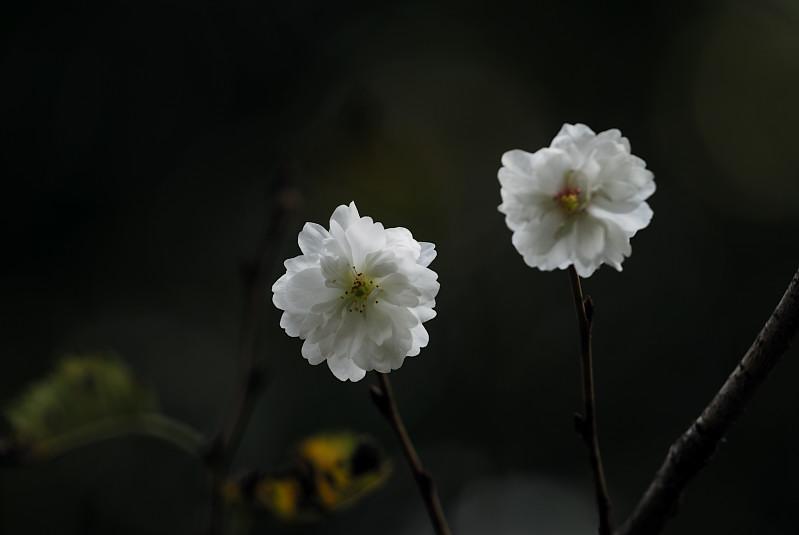 コブクザクラ(子福桜)