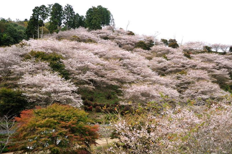 シキザクラ(四季桜)