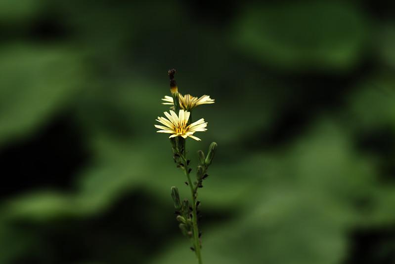 アキノノゲシ(秋の野罌粟)