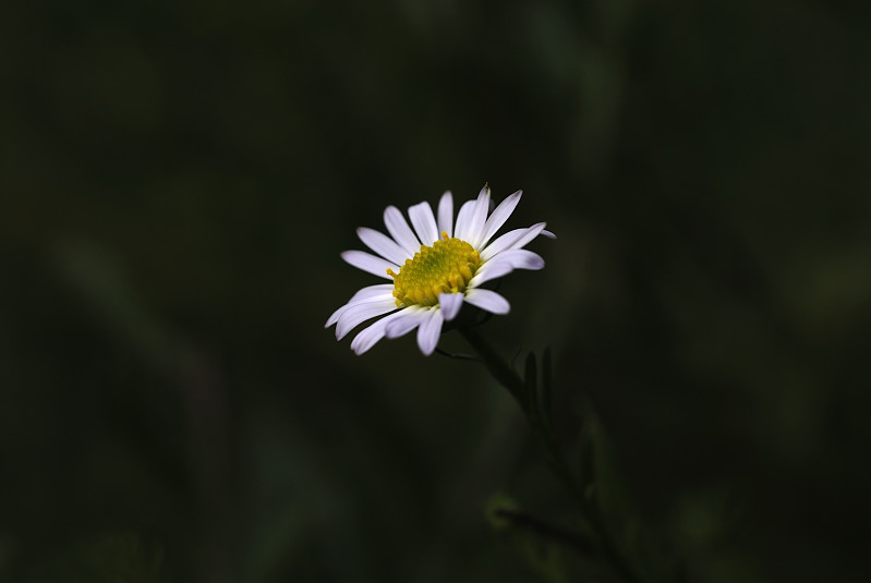 カワラノギク(河原野菊)