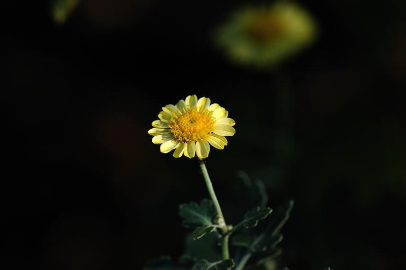 キバナノジギク(黄花野路菊)