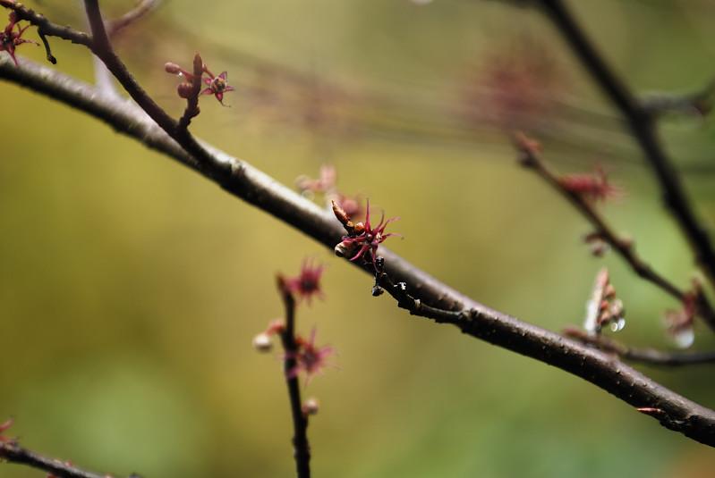 マルバノキ(丸葉の木)