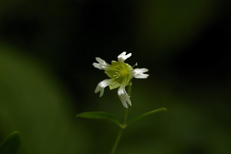 ナンバンハコベ(南蛮繁縷)