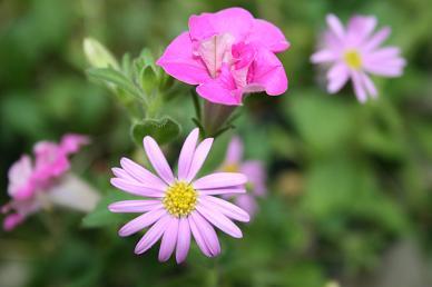 ペチュニアと小花