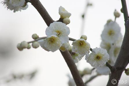 羽根木公園の梅-八重茶青2IMG_9500