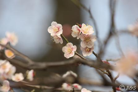 羽根木公園の梅-養老2IMG_9472