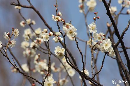羽根木公園の梅-しらかが1IMG_9464