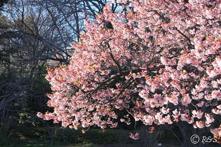 新宿御苑-寒桜6IMG_9707