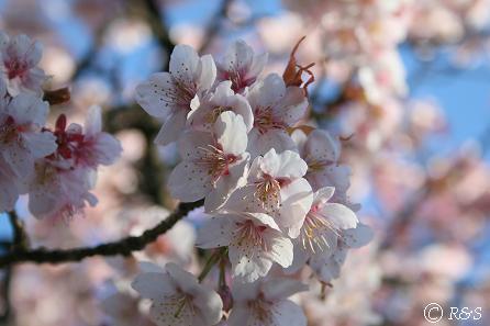 寒桜5IMG_7974