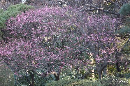 新宿御苑-梅2IMG_9660
