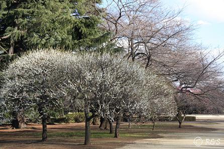 新宿御苑-梅10IMG_9731